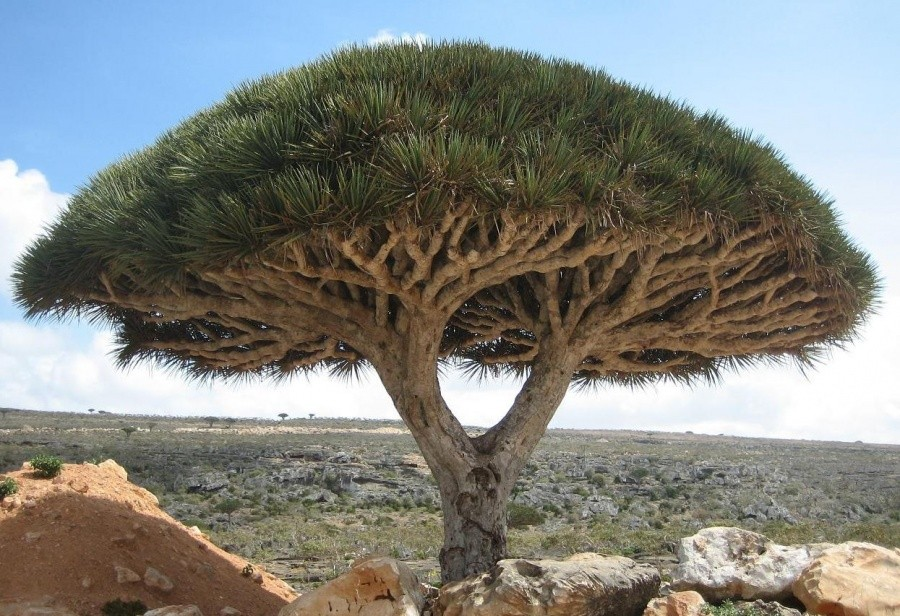 A dragon tree, Socotra Island 10 incredible photos of trees nature wildlife