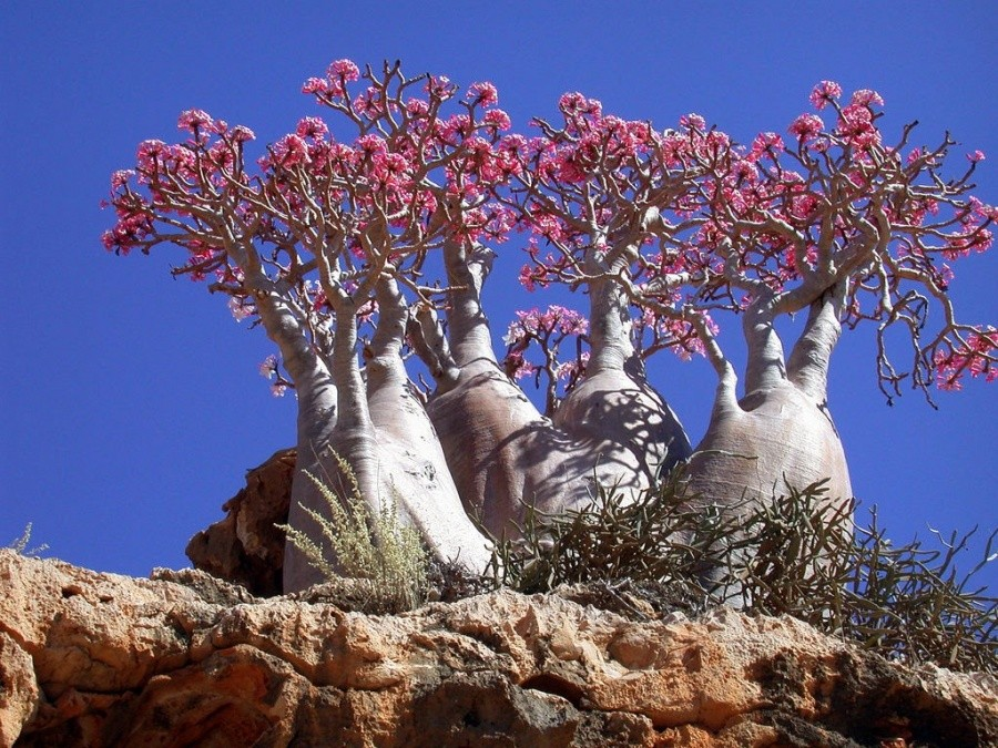 Bottle trees, Socotra Island 10 incredible photos of trees nature wildlife