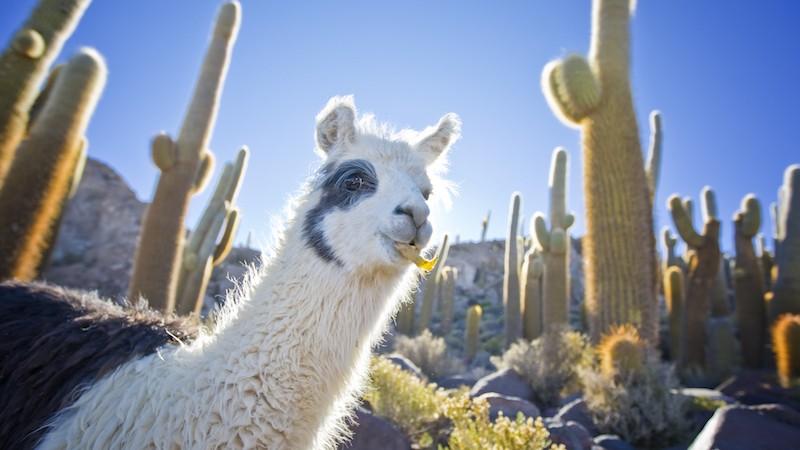 cactus, travel guide, Salar de Uyuni, Bolivia