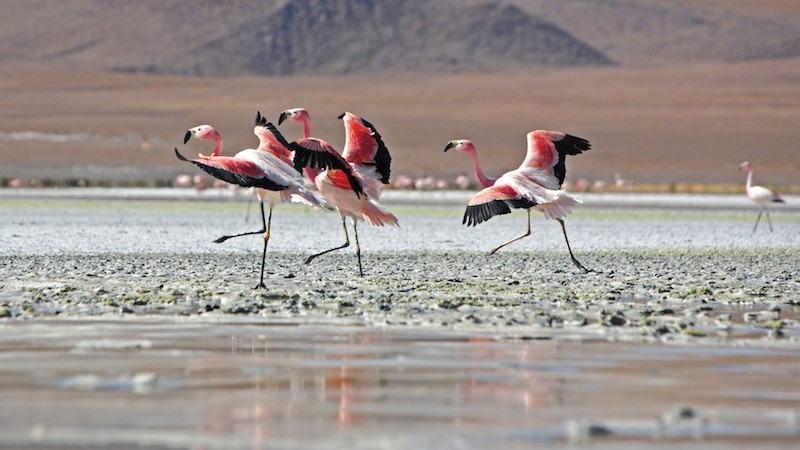 salt flat, flamingos, Travel guide, Salar de Uyuni, Bolivia