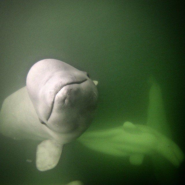 Beluga whale churchill canada