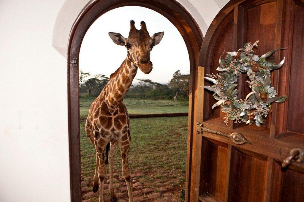 giraffe-roaming-hotel