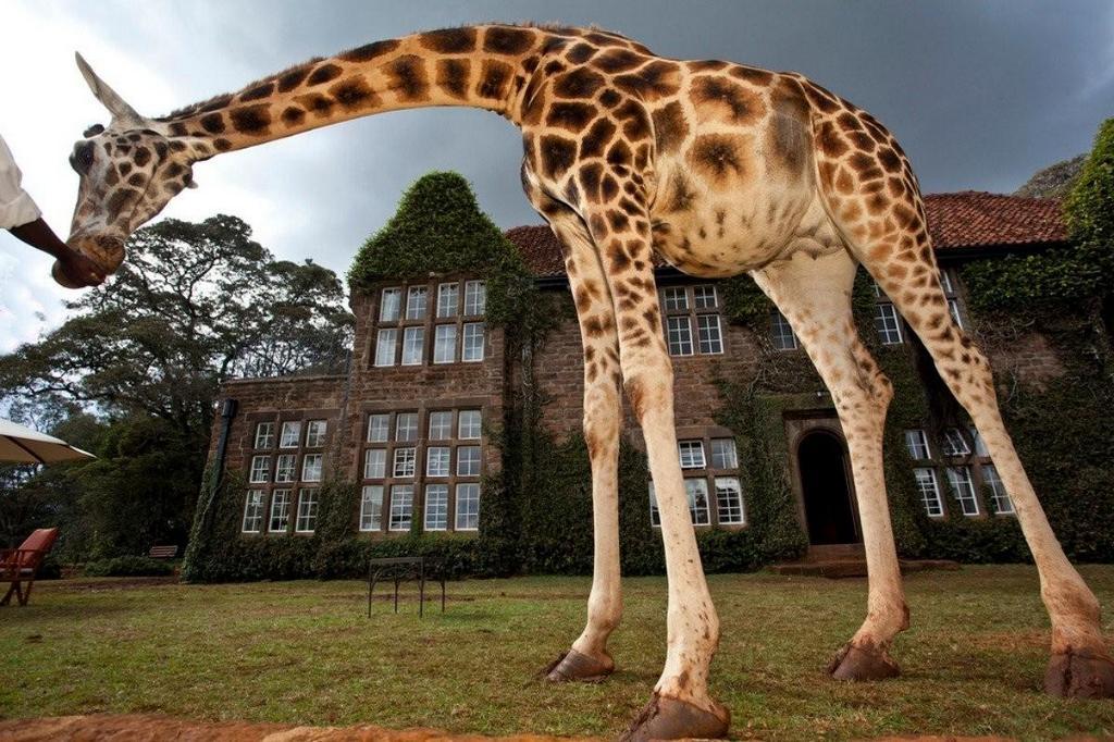 wanderlust-giraffes-roaming-hotel