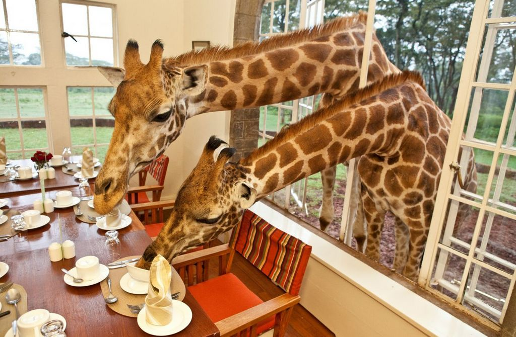 wanderlust_tips_enjoy-breakfast-with-giraffes-in-Kenya1