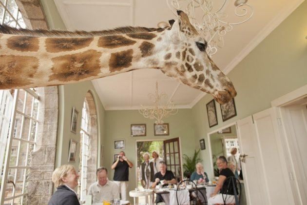 wanderlust_tips_enjoy-breakfast-with giraffes-in-Kenya4 (13)