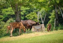 kobe-beef-luxury-life-farm-breeding-japan4