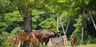 kobe-beef-luxury-life-farm-breeding-japan4