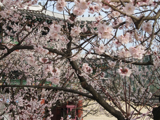 changgyeonggung-palace-location-for-viewing-cherry-blossom-seoul-korea1