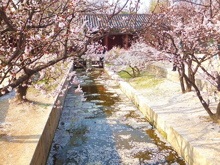 changgyeonggung-palace-location-for-viewing-cherry-blossom-seoul-korea2