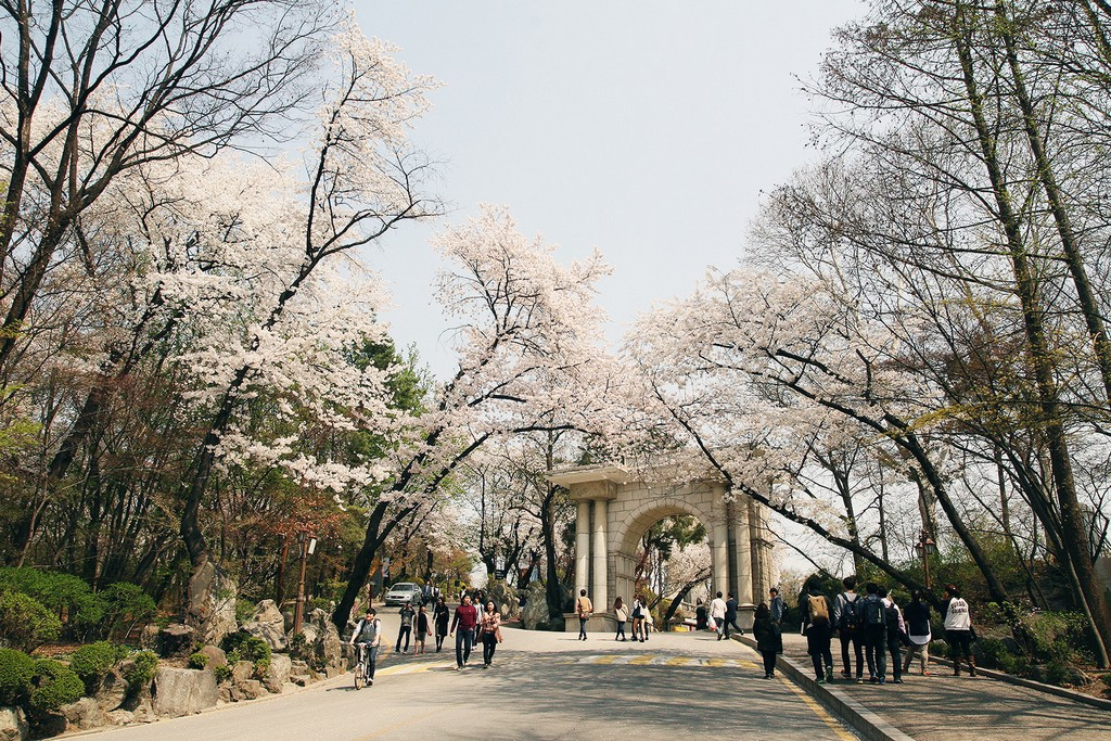 kyung-hee-university-location-for-viewing-cherry-blossom-seoul-korea