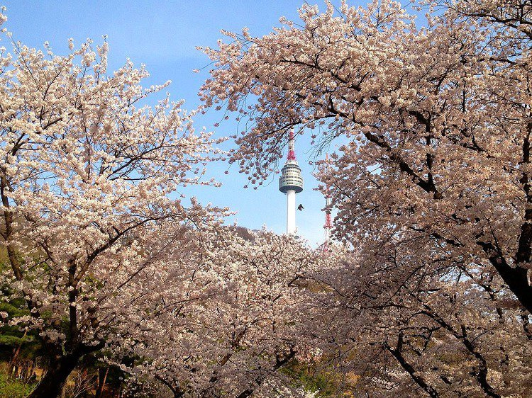 namsan-seoul-tower-location-for-viewing-cherry-blossom-seoul-korea6
