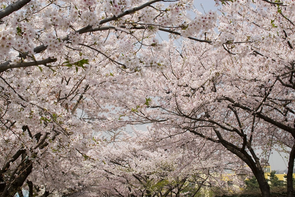 samcheong-dong-location-for-viewing-cherry-blossom-seoul-korea3