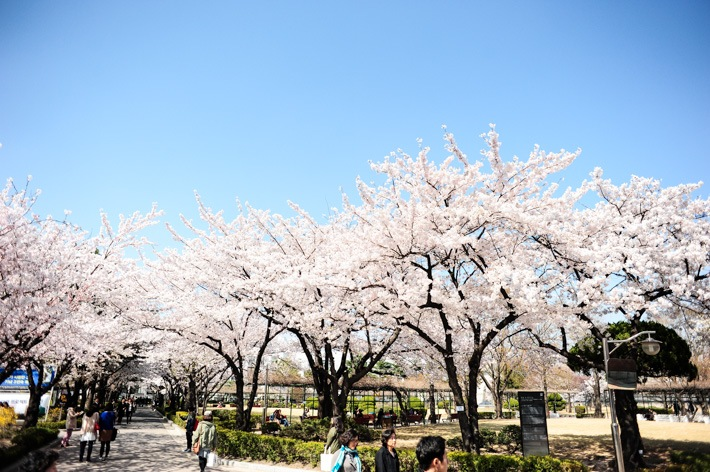 samcheong-dong-location-for-viewing-cherry-blossom-seoul-korea4
