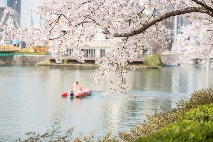 seokchon-lake-park-location-for-viewing-cherry-blossom-seoul-korea3