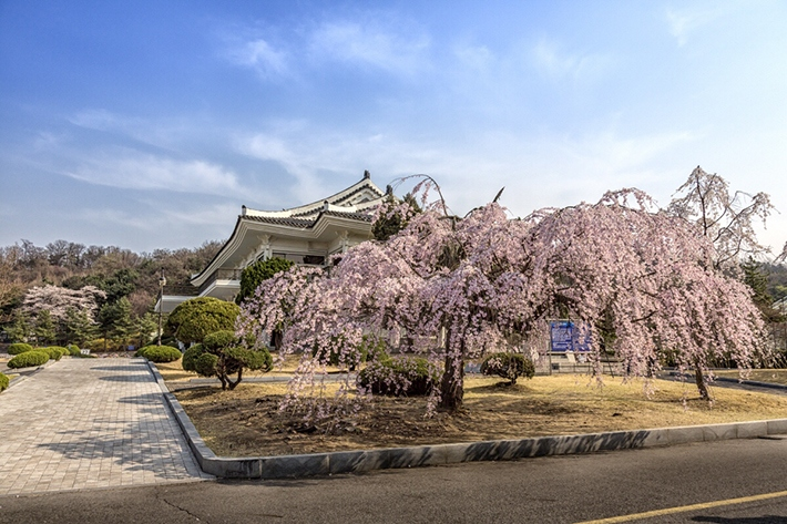 seoul-national-cemetery-location-for-viewing-cherry-blossom-seoul-korea2