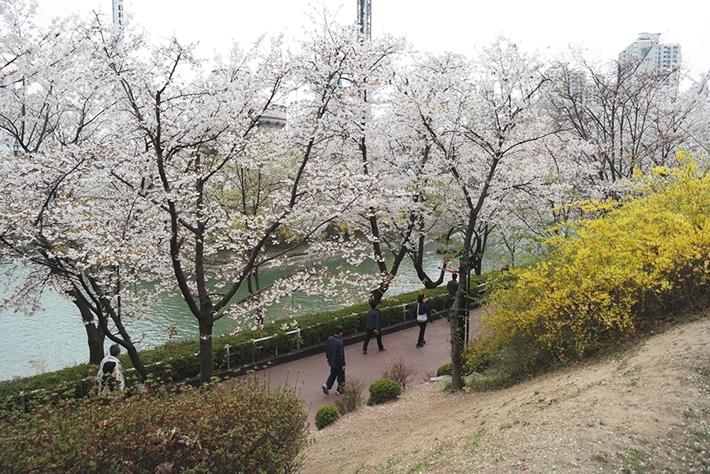 yangjae-cheon-location-for-viewing-cherry-blossom-seoul-korea3