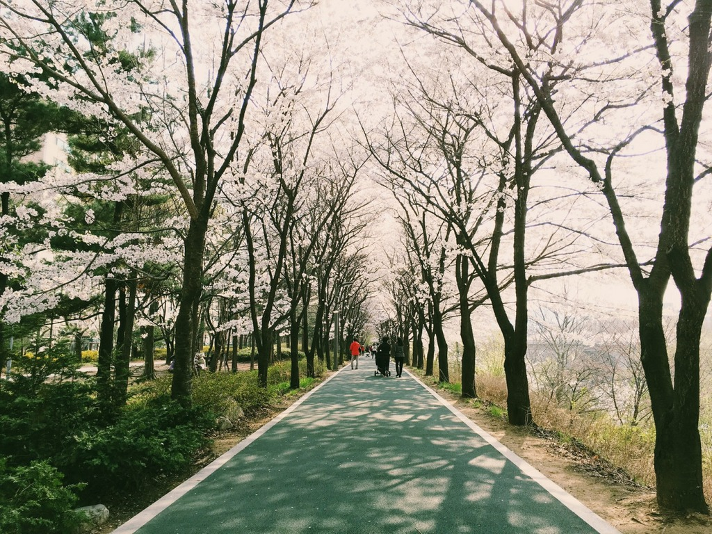 yangjae-cheon-location-for-viewing-cherry-blossom-seoul-korea9