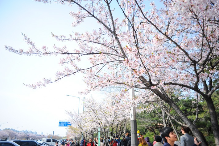 yeouido-park-location-for-viewing-cherry-blossom-seoul-korea