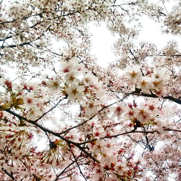 yeouido-park-location-for-viewing-cherry-blossom-seoul-korea1