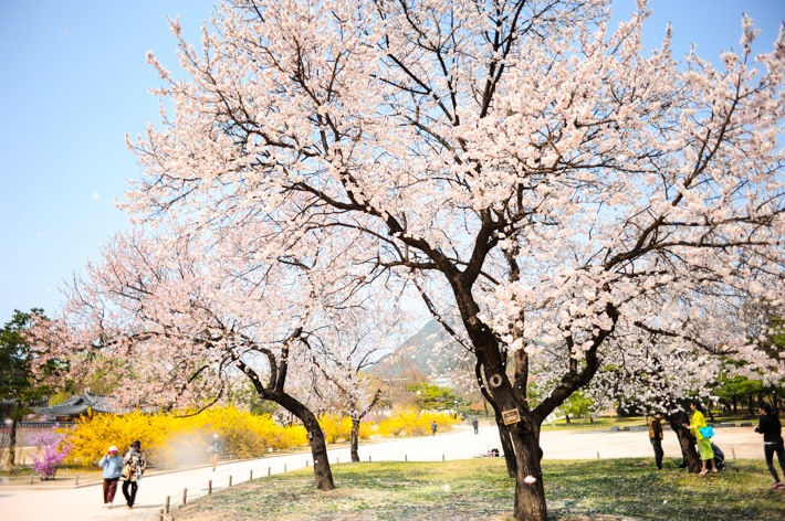 the-time-of-cherry-blossoms-bloom-seoul-korea