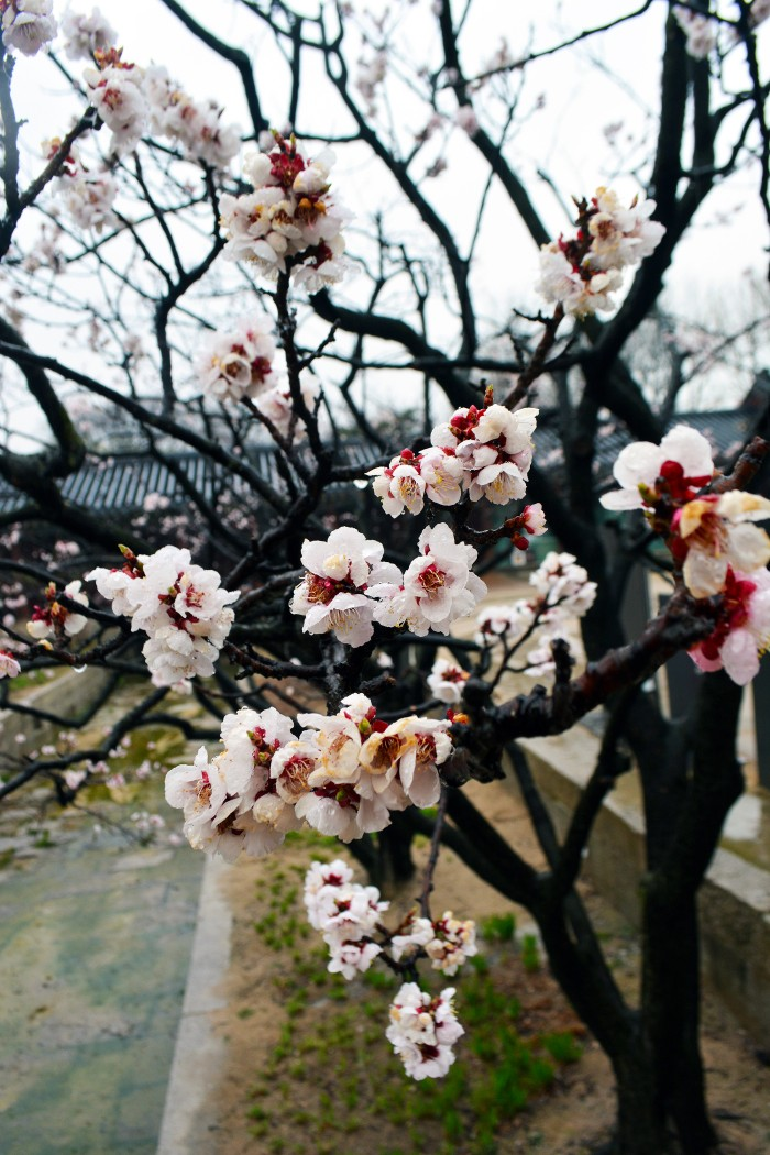 Blossom at Changdeokgung Palace, Seoul, South Korea (6)