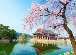 gyeongbokgung-palace-location-for-viewing-cherry-blossom-seoul-korea178