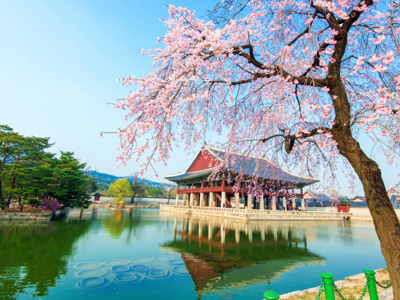 gyeongbokgung-palace-location-for-viewing-cherry-blossom-seoul-korea178