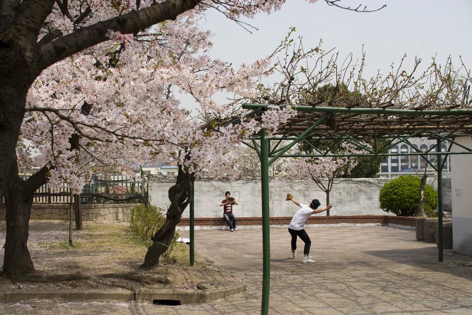 Samcheong-dong cherry blossom (4)