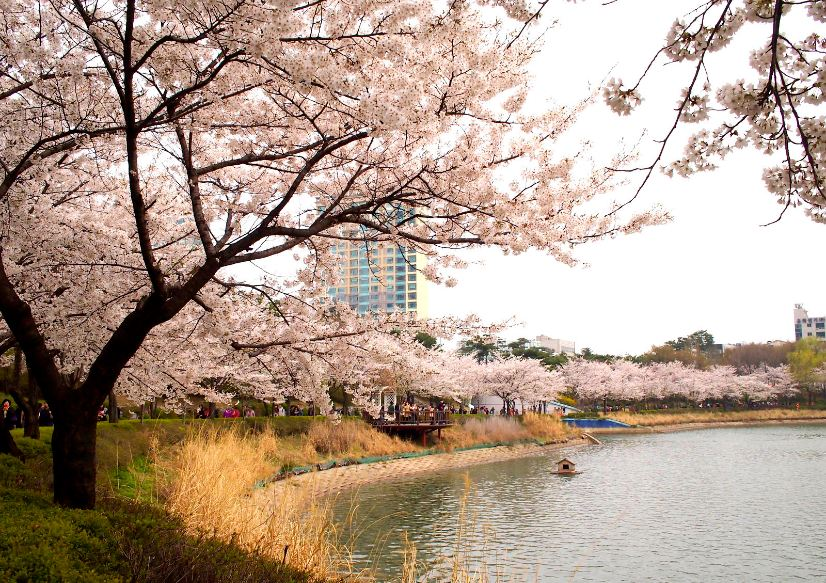 seokchon-lake-park-location-for-viewing-cherry-blossom-seoul-korea23