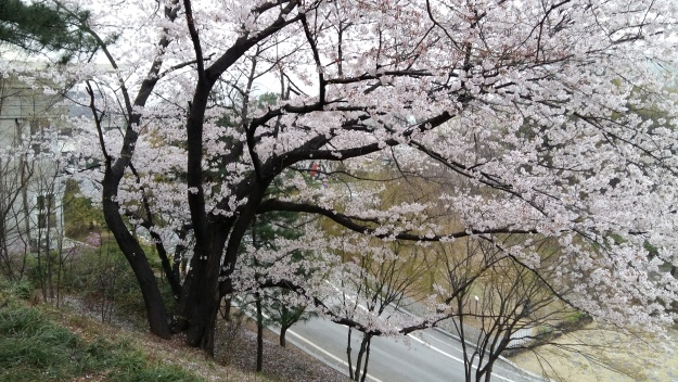 Cherry blossoms at Seoul National Cemetery.