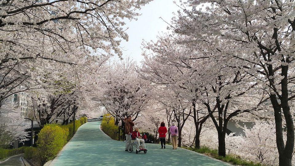 Yangjaecheon Stream Cherry Blossom3