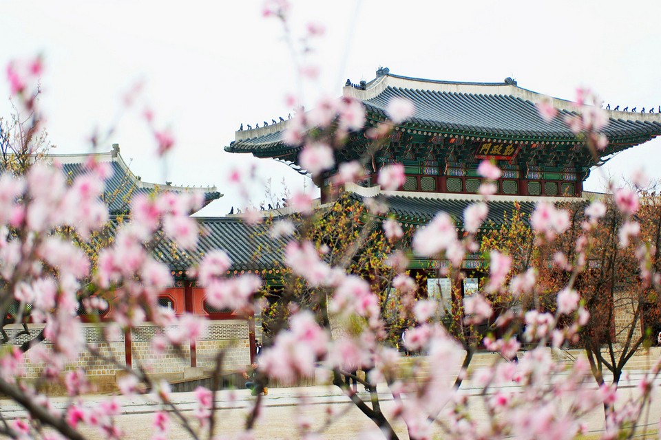 cherry blossom in spring of Gyeongbokgung Palace in Seoul (1)