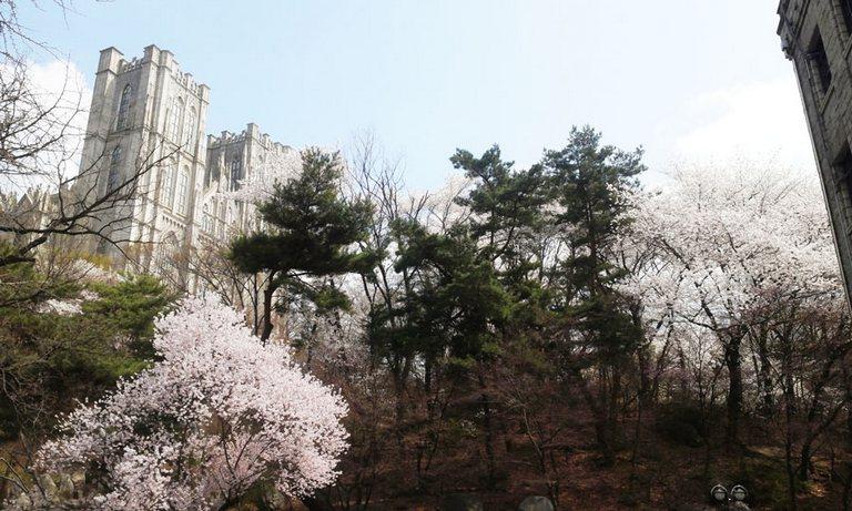 Cherry Blossoms at KyungHee University