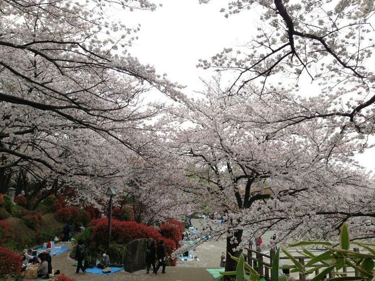 Asukayama park-Best Places to View Cherry Blossoms in Tokyo1