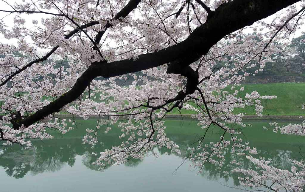 Canal Chidori-ga-Fuchi-Best Places to View Cherry Blossoms in Tokyo3
