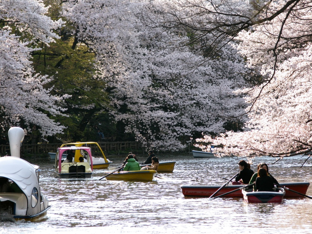 Inokashira Park-Best Places to View Cherry Blossoms in Tokyo1