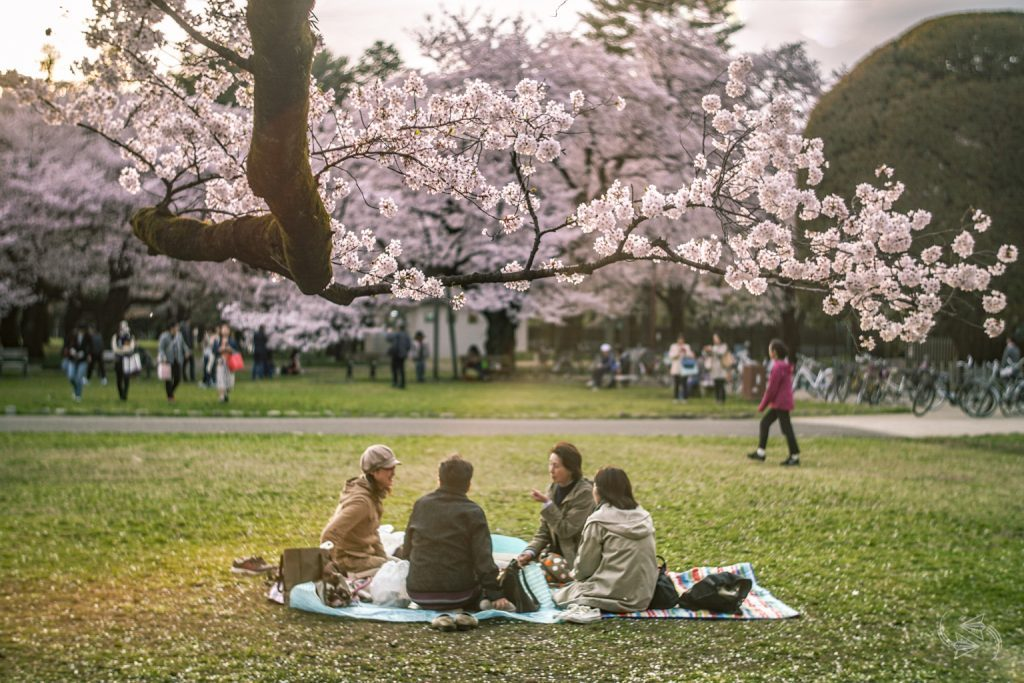 Koganei Park-Best Places to View Cherry Blossoms in Tokyo1