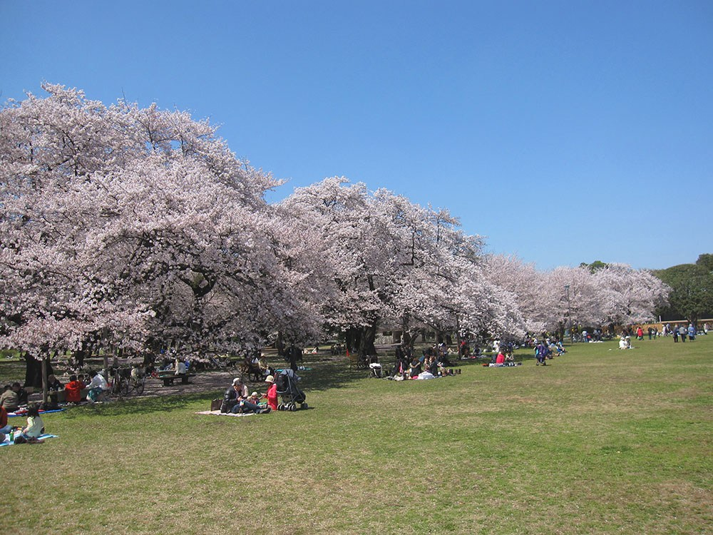 Koganei Park-Best Places to View Cherry Blossoms in Tokyo2