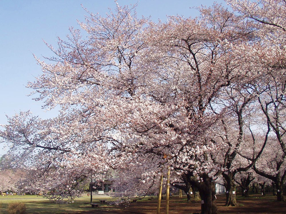 Koganei Park-Best Places to View Cherry Blossoms in Tokyo3