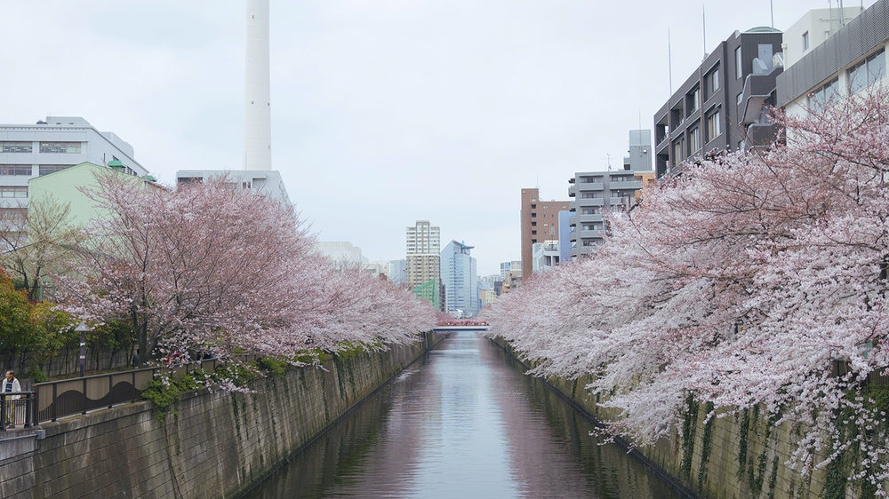 Meguro River-Naka Meguro-Best Places to View Cherry Blossoms in Tokyo