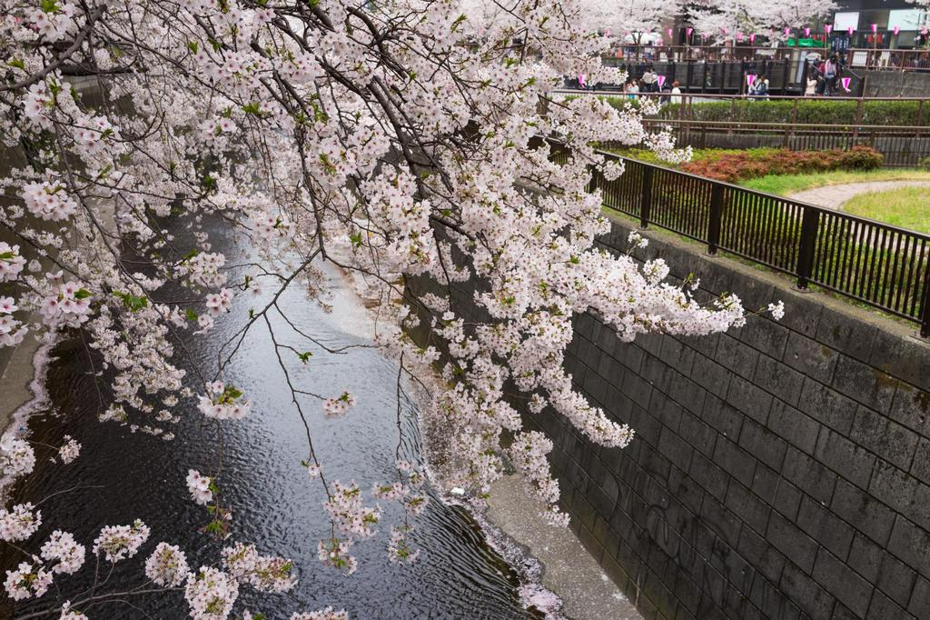 Meguro River-Naka Meguro-Best Places to View Cherry Blossoms in Tokyo2