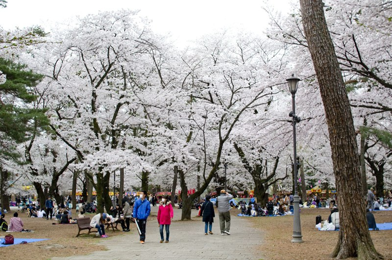 Omiya Koen Park in Saitama-Best Places to View Cherry Blossoms in Tokyo1