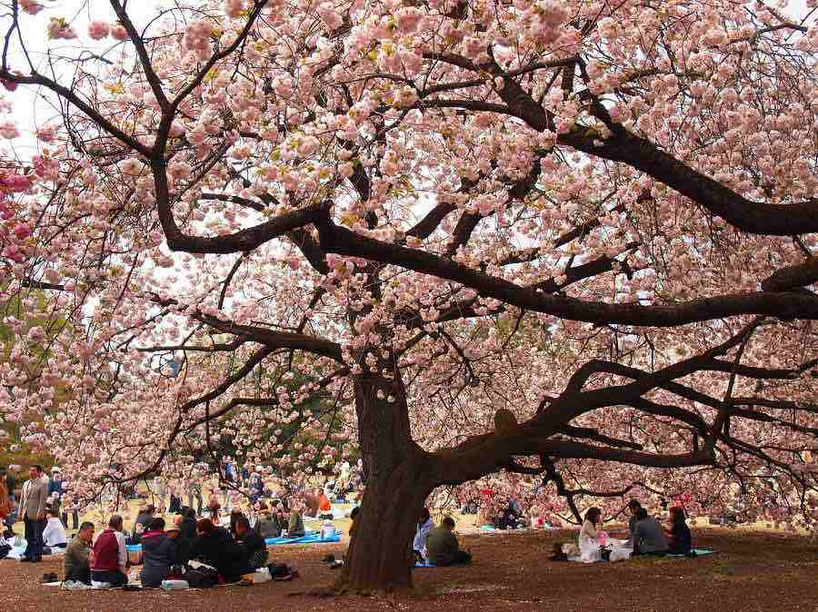 Shinjuku-Gyoen-Best Places to View Cherry Blossoms in Tokyo