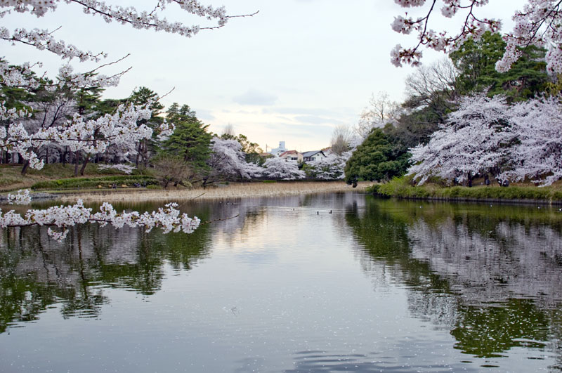 Omiya Koen Park in Saitama-Best Places to View Cherry Blossoms in Tokyo2