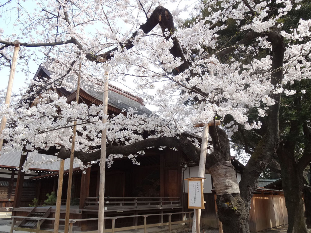 Yasukuni Shrine -Best Places to View Cherry Blossoms in Tokyo2