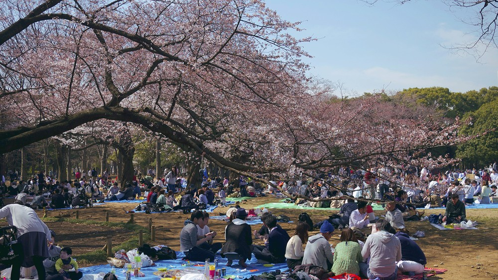 Yoyogi Park-Best Places to View Cherry Blossoms in Tokyo3
