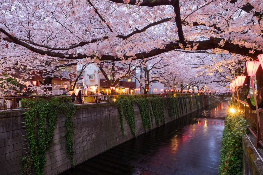One of the best places to see cherry blossoms in Tokyo. best places to see cherry blossoms in tokyo