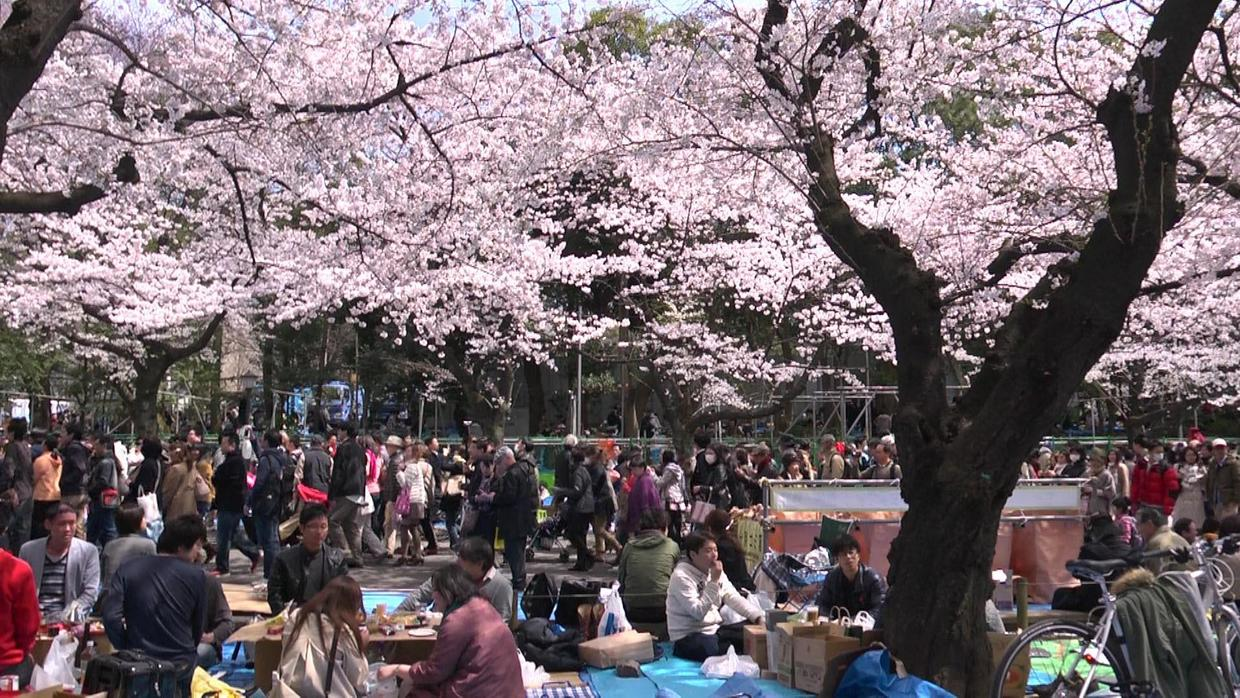 hanami parties-Best Places to View Cherry Blossoms in Tokyo