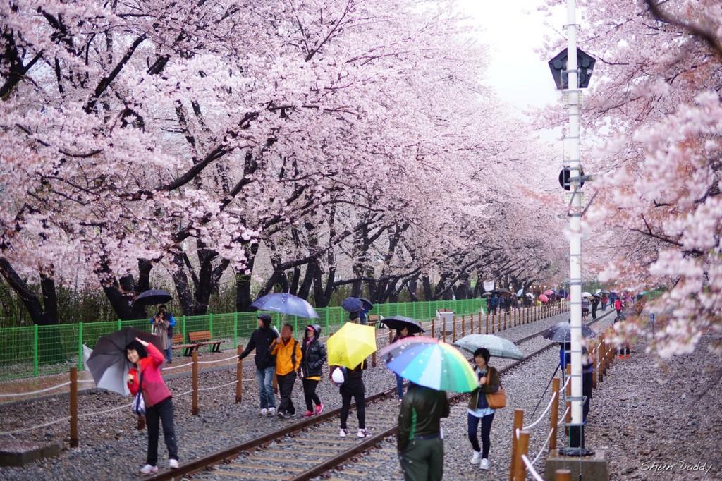 Yeouido Cherry Blossom Festival, Seoul