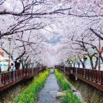 Top 5 cherry blossom festivals in South Korea in 2018